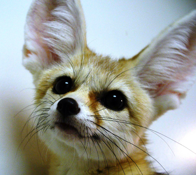 Our Fennec Fox