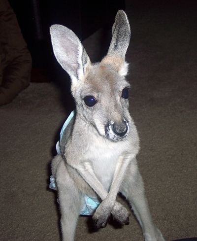 Our Kangaroo